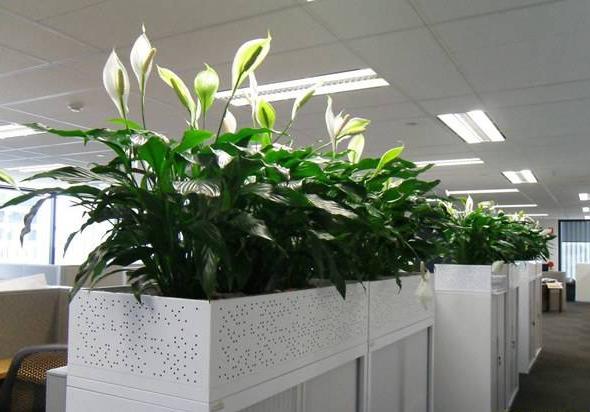 办公室风水植物怎么选呢?