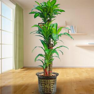 办公室绿植之巴西木怎么养护